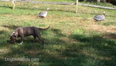 A blue-nose Pit Bull Terrier puppy is standing in grass and sniffing around. There are two guinea birds walking behind him next to a split rail fence.