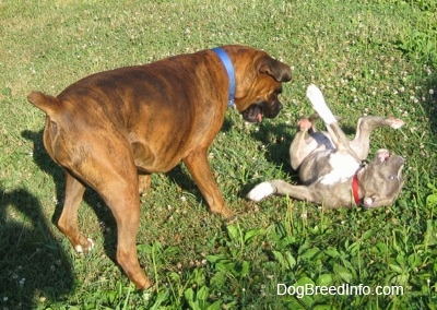 A blue-nose Brindle Pit Bull Terrier puppy is rolling around on his back and across from him a brown brindle Boxer is playfully looking down at him.