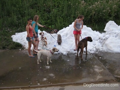 Three ladies are letting six dogs play in a pile of snow. There are two dogs in the pile of snow and two dogs next to it.