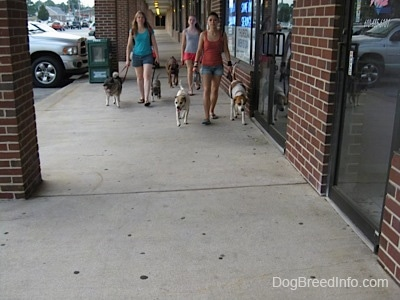 Three ladies are leading six dogs on a walk down a concrete path under an outside roof of a shopping center.