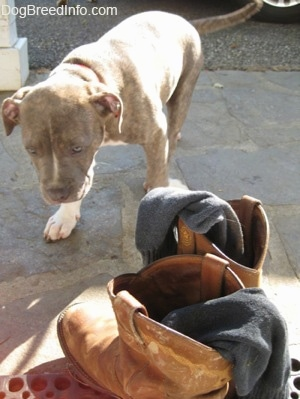 A blue-nose Brindle Pit Bull Terrier puppy is walking towards a pair of boots with socks in them on a stone porch.