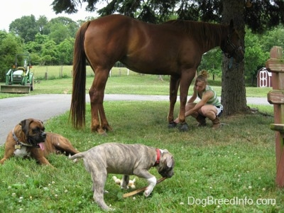 A brown brindle Boxer is laying in grass and in front of him is a blue-nose Pit Bull Terrier that is dragging a bully stick through grass. Behind them is a blonde haired girl touching the hoof of a horse.