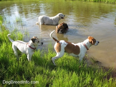 Four dogs outside at a pond. A Great Pyrenees and a brown brindle Boxer are standing in a pond. A white with tan Pit Bull mix and a tan and white Beagle are standing on the corner of a pond looking to the right.