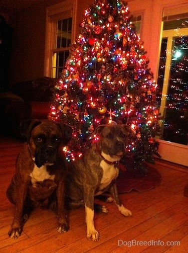 A brown brindle Boxer and a blue-nose Brindle Pit Bull Terrier are sitting in front of a Christmas tree that is covered in lights. They are looking forward.