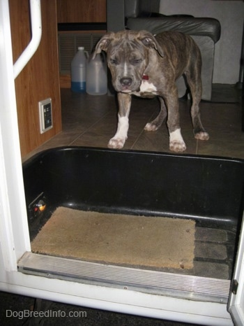A blue-nose Brindle Pit Bull Terrier puppy is standing at the top of a staircase in a camper looking down out of the open door.