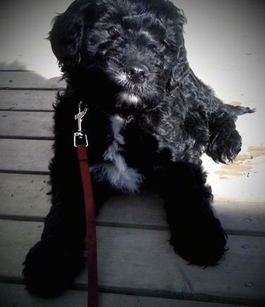 Close up - A black with white Springerdoodle puppy is laying on a hardwood porch, it is looking to the right and its head is tilted to the right.