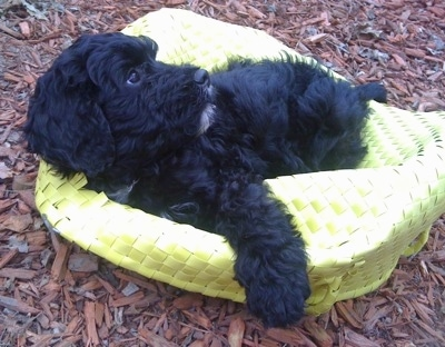 The left side of a black with white Springerdoodle puppy that is laying on a flattened upside down yellow wicker basket and it is looking to the right.