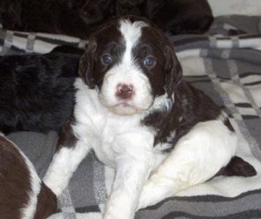 Springerdoodle puppy (English Springer Spaniel / Poodle hybrid).