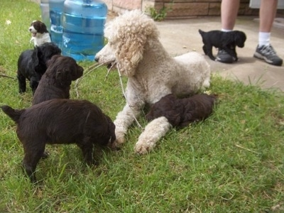 Six Springerdoodle puppies are surrounding a white Standard Poodle. One of the puppies is having a tug-of-war with a stick that is in the Poodle's mouth.