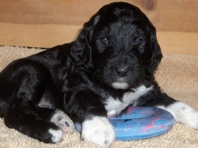 Close up front side view - A small, young shiny black with white Springerdoodle puppy laying on a carpet on top of a blue chew ring looking at the camera. The pup is all black with white paws and white on its chest and chin
