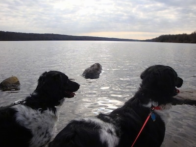 The back right side of two black and white Stabyhouns looking out at a body of water, they both are panting.