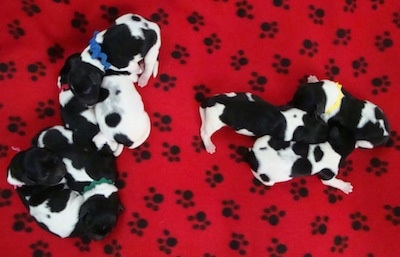 Top down view of a 8 newborn Stabyhoun puppies laying across from each other in 2 piles. They are laying on top of a red blanket that has black paw prints on it.