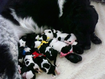 Top down view of a black and white Stabyhoun dog laying down on a blanket with a large litter of newborn black and white Stabyhoun puppies.