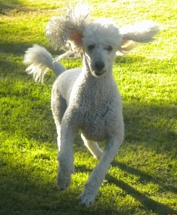 A white Standard Poodle dog running on a grass surface with its ears flopping around flying in the air looking forward. Its nose and eyes are black.