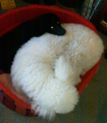Top down view of a white Standard Poodle dog and a smaller black Standard Poodle dog laying in a red dog bed.
