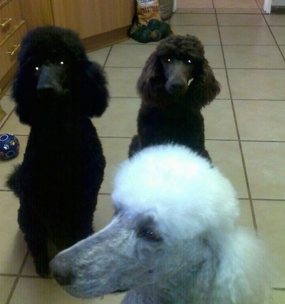 Three Standard Poodle dogs sitting on a white tiled floor - One dog is black, one dog is brown and one is white. The dogs have shorter hair on their snouts and soft fluffy hair on their heads and bodies.