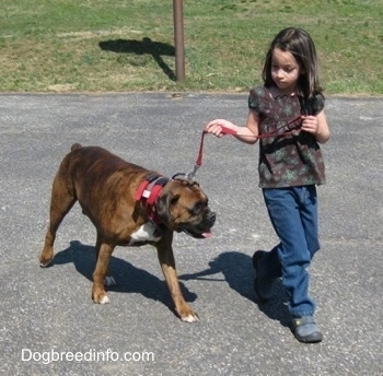 The front right side of a brown brindle with white Boxer that is being walked across a blacktop surface by a little girl