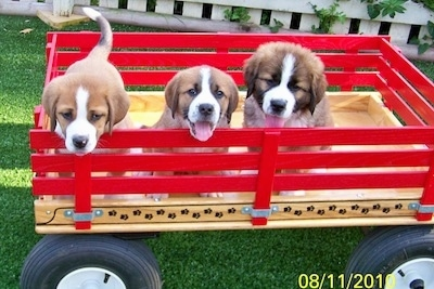 Three little tan with black and white Swissy Saint puppies are sitting and standing in a red wooden wagon. The two puppies on the right have there mouths open, tongues out and it looks like they are smiling. The first two are short haired and the pup on the far right is fluffy.