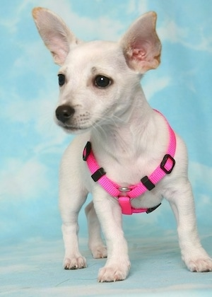 A short legged, low to the ground, white Taco Terrier puppy standing on a sky backdrop wearing a hot pink harness looking to the left. It has perk ears that come to a point and are set wide apart, dark wide eyes and a black nose.