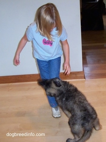 The back of a grey and black puppy that is jumping up against and biting a childs leg.