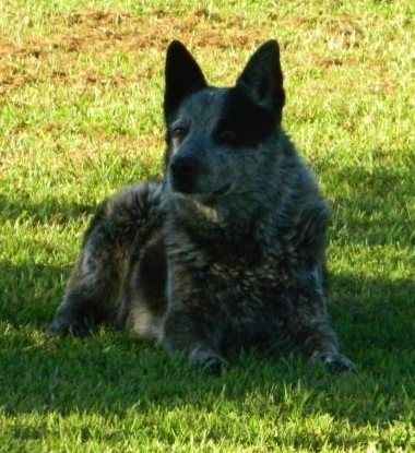 Sam is a Texas Heeler, a cross between an Australian Shepherd and Blue Heeler.