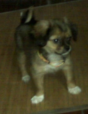 Front side view - A small brown with white Tibetan Chin puppy is standing across a table, it is looking down and to the right.