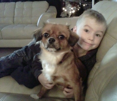 Front view - A brown with white Tibetan Chin is sitting on a couch and it is looking forward. There is a boy hugging its back. The dog has a black nose and small drop ears.