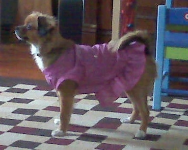 The left side of a brown with white Tibetan Chin that is wearing a pink dress and it is standing on a rug. It is looking to the left. Its tail is curled up over its back.