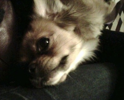 Top down view of a fluffy brown with white Tibetan Chin dog laying across a persons leg.