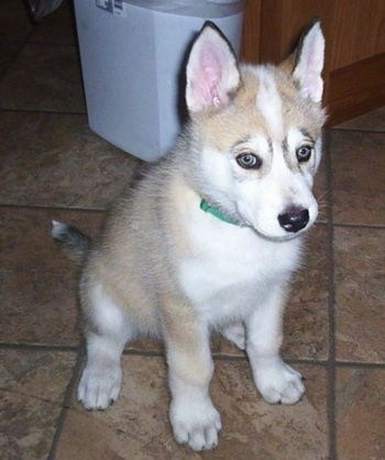 The front right side of a tan and white with black Timber Wolf puppy that is sitting across a tan tiled floor looking to the right. The puppy has a black nose, perk ears and light colored eyes.