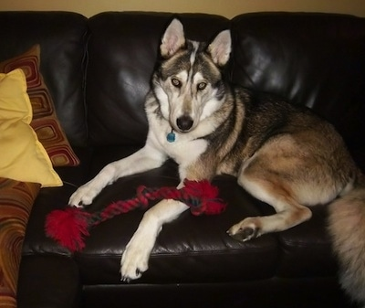 The left side of a black, brown and white Timber Wolf laying across a black couch looking forward. It has a red and black rope toy over its front paw. It has perk ears and yellow eyes with black rims around them.
