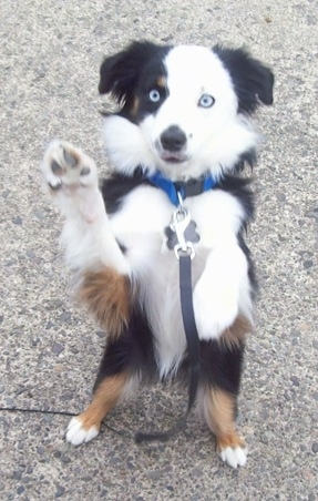 A blue-eyed tricolor white and black with brown Toy Australian Shepherd is standing on its hind legs in a begging pose on a sidewalk. Its front paws are in the air.