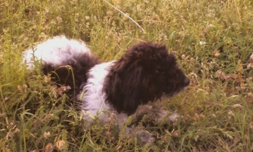 The front right side of a thick, long coated, small black and white Toy Poodle dog laying in tall grass and weeds looking to the right.