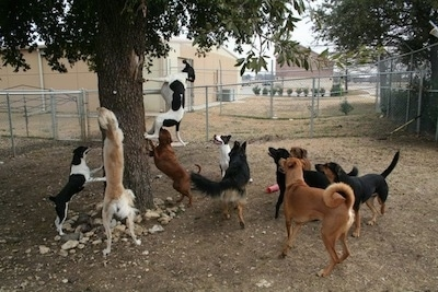 A pack of 10 dogs are climbing, jumping and barking at an animal in a tree