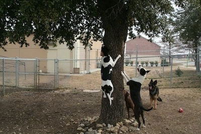 Four dogs are climbing, jumping and standing against a tree barking at an animal.