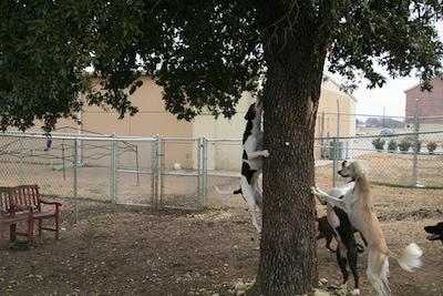 One dog is jumping up a tree. Two other Dogs are standing against a tree. There is another dog walking behind the tree