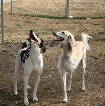 Two dogs are standing in dirt and looking up. They're mouths are open and tongues are out