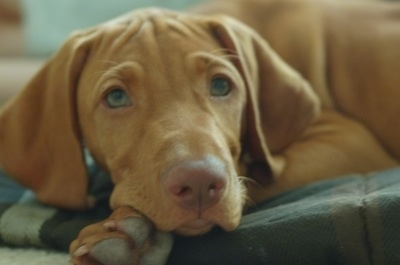 Close up - A tan Vizsla is laying down on a blanket and it is looking forward. It has long droopy ears and light colored eyes and a brown nose.
