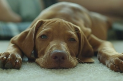 Close up front view - A tan Vizsla is laying down on a carpet and it is looking forward. The dogs head is laying flat on the carpet and it has a brown nose and sleepy looking eyes.