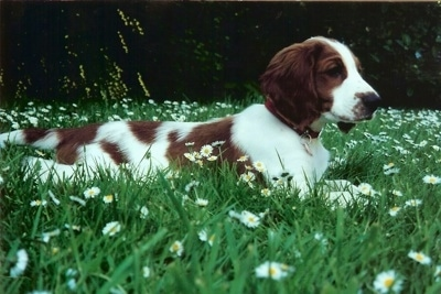 The right side of a white with brown Welsh Springer Spaniel puppy that is laying across a field that is filled with white and yellow daisy flowers.