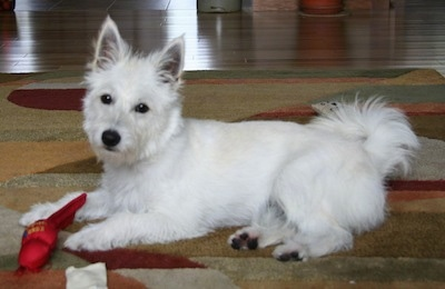 The left side of a white Westeke dog that is laying on a rug and there is a red toy in front of it. The dog has pointy perk ears and a fringe ring tail and dark eyes.