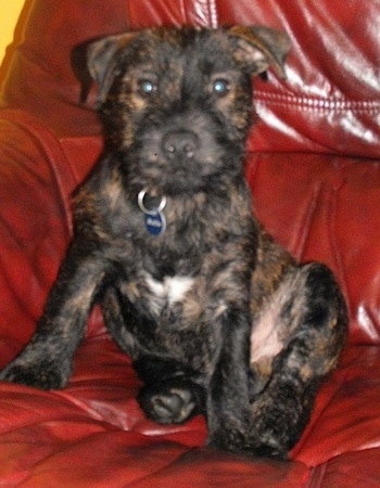 A black with tan brindle Westie Staff puppy is sitting on a red leather couch. It has a patch of white on its chest and round eyes and a black nose.