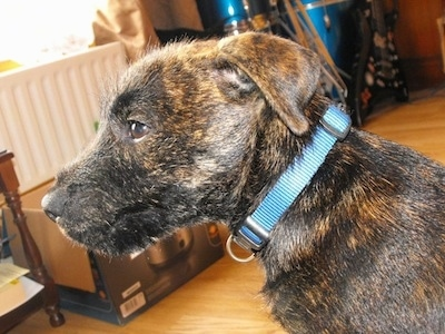 Close up - The left side of a black with tan Westie Staffpuppy that is wearing a blue collar. The dog has small fold over ears, brown eyes and a black nose. Its coat looks wiry,