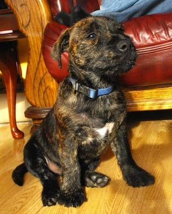 A black with tan brindle Westie Staff puppy is sitting on a hardwood floor in front of a couch. Its nose is black, is almond shaped eyes are brown and it is wearing a blue collar. It has a white patch on its chest.