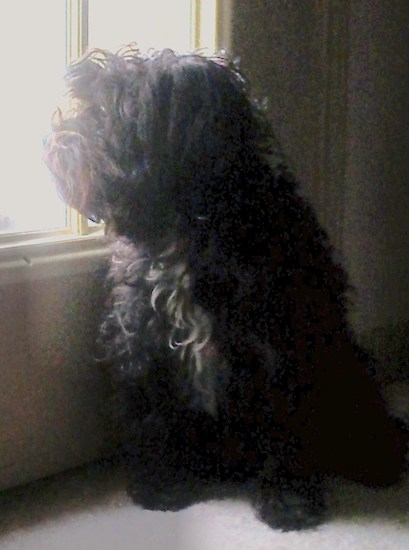 A black with a tuft of white Westiepoo dog sitting on a carpet and it is looking out of the window to the left of it. It has a long thick coat.
