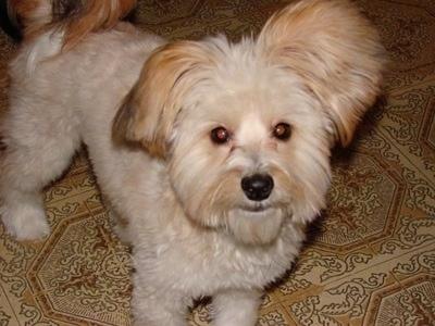 Westillon Dog Breed In...