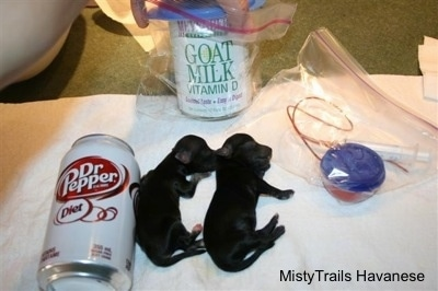Two Tiny puppies next to a can of Diet Dr. Pepper