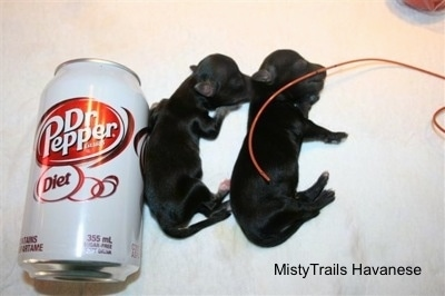Close Up - Two Tiny puppies next to a can of Dr. Diet Pepper
