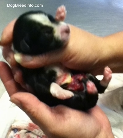 Puppy born with intestines on the outside being held by a person