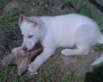 Max the American White Shepherd puppy outside chewing on a hunk of wood